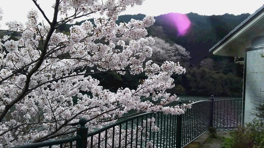 *【もみじ川温泉周辺のさくら】川沿いに美しい桜を見ることができます。