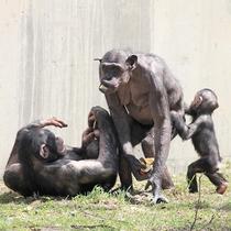 チンパンジー[写真提供:旭山動物園]※「無断使用」及び「無駄転載」禁止