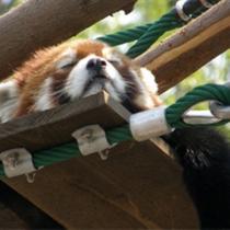 旭山動物園-眠いレッサーパンダ