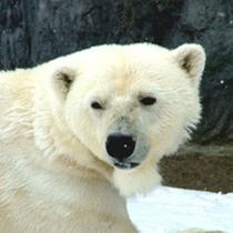 旭山動物園-シロクマ