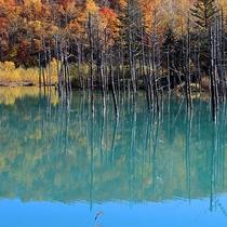 「青い池」紅葉の時期