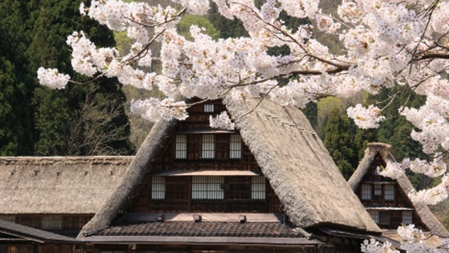 桜満開 合掌造り