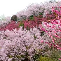 春のご旅行は福島市の宝「花見山」はいかがでしょうか?