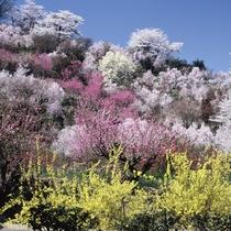 色とりどりの花が咲き競う「花見山」4/1~22往復バスチケット付プラン販売中
