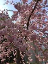 ホテル内庭園の桜2019