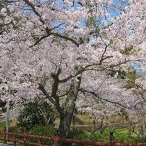 大寧寺の桜(当館より徒歩10分)