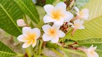 花壇の花(プルメリア)