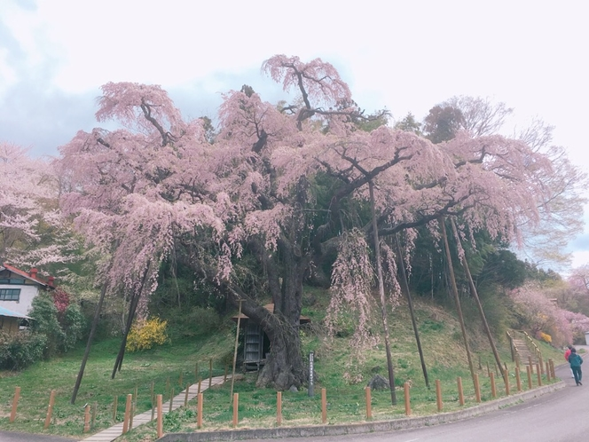 紅枝垂れ地蔵桜(郡山市中田町)