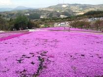 芝桜(平田村)