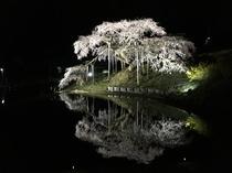 中島の地蔵桜ライトアップ(二本松市)