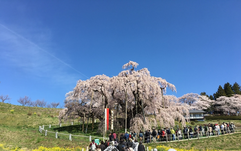 満開の滝桜(三春町)