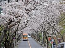 伊豆高原桜