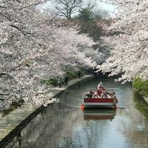 富山市内松川べりは桜の名所<見ごろは4月上旬〜10日頃>