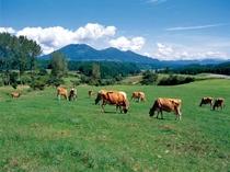 蒜山高原・ジャージー牛