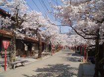新庄村「がいせん桜」