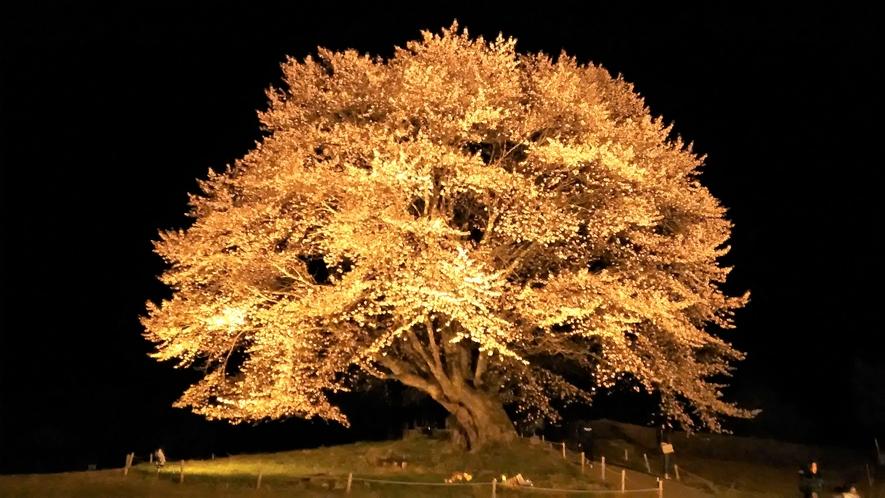 観光体験・樹齢300年以上の天皇桜