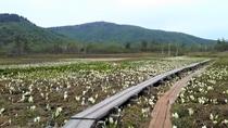 尾瀬国立公園 尾瀬ヶ原の水芭蕉