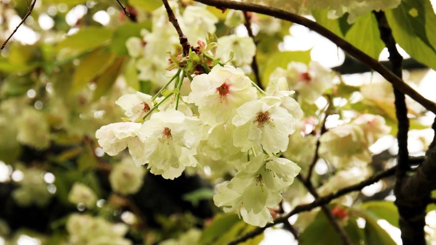 ■七ツ森に抱かれた一軒宿-春 ちどりの春の風物詩「銀桜」 可憐な美しさに癒やされます。