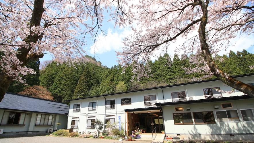 ■七ツ森に抱かれた一軒宿-春  宿の目の前に桜が。温泉からは「銀桜」も楽しめます。