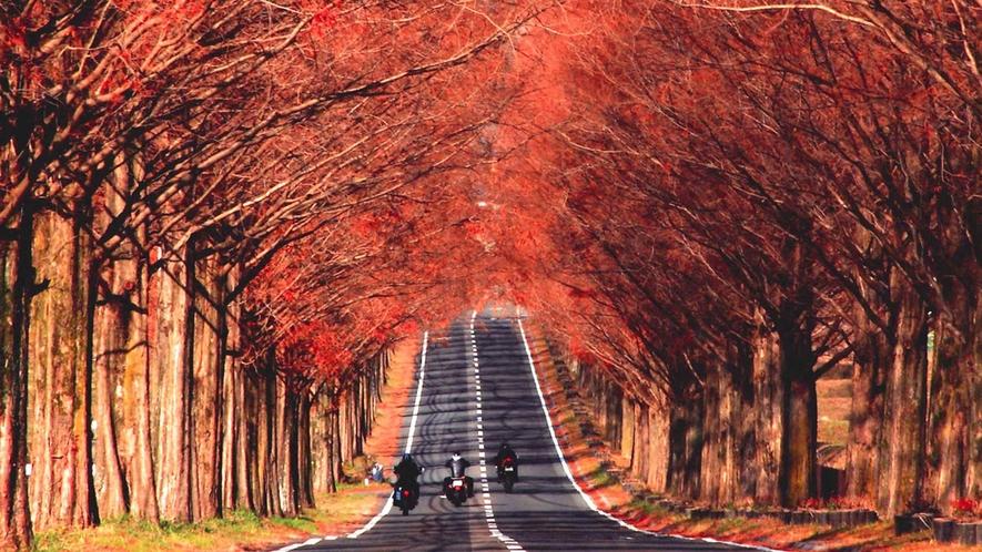 ・2.4kmにわたるメタセコイア並木の紅葉。秋にもぜひお越しください