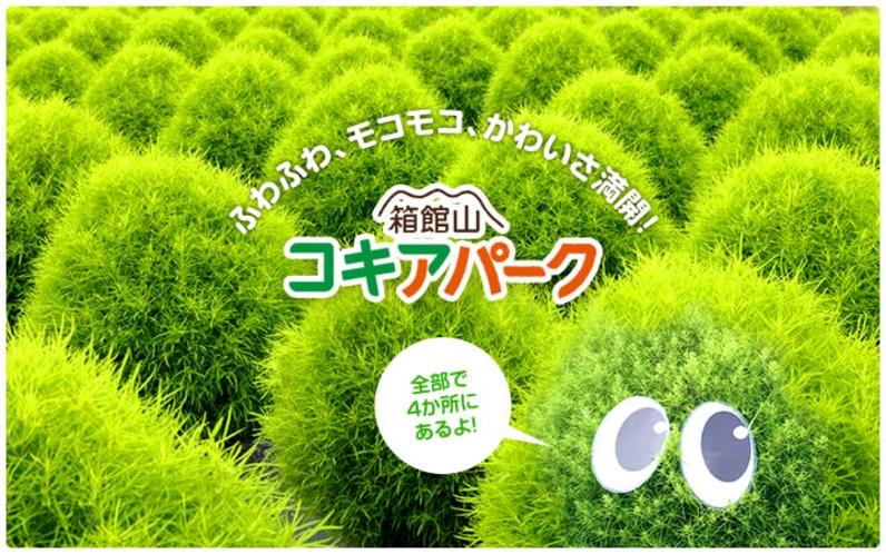 箱館山のコキア
