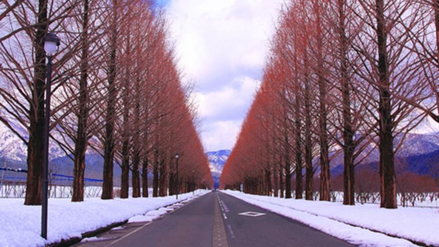 ・メタセコイア並木は冬も趣があります