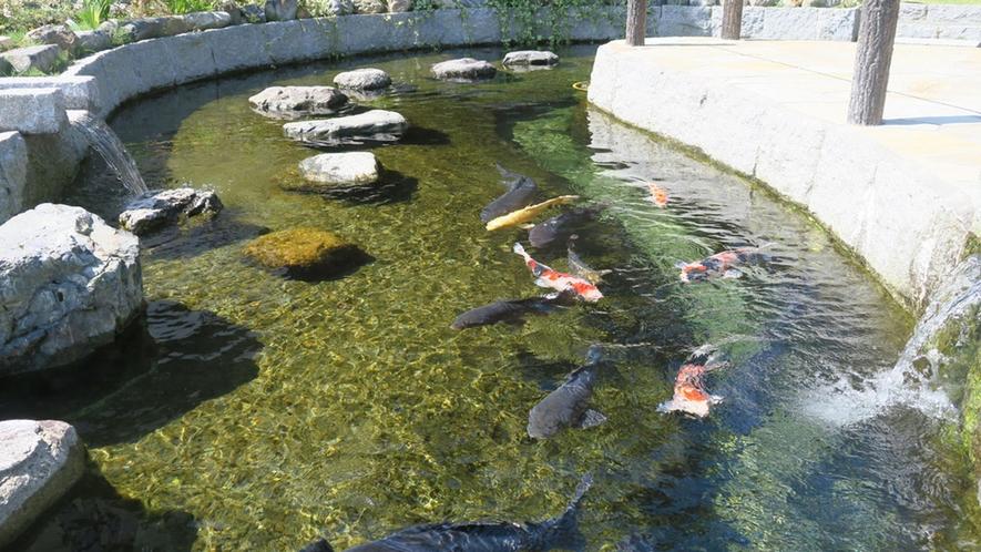 ・湧き水の池で鯉も気持ちよさそうに泳いでいます