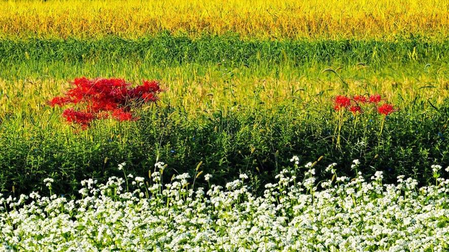 ・満開の蕎麦の花と彼岸花