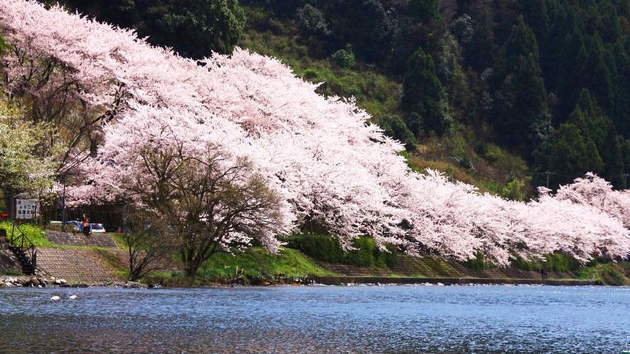 ・琵琶湖のほとりに咲き誇る桜は圧巻です