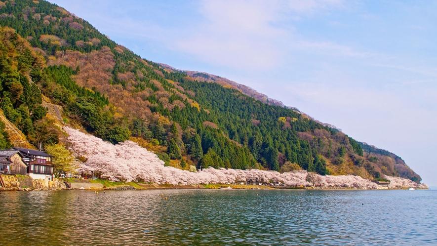 ・春には琵琶湖沿いに桜が咲き誇ります