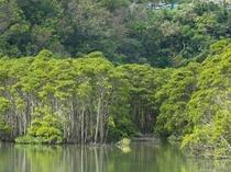 【周辺情報】億首川のマングローブ林