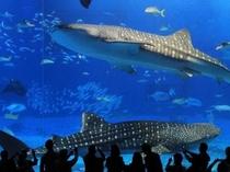美ら海水族館【車で約55分】ジンベイザメ