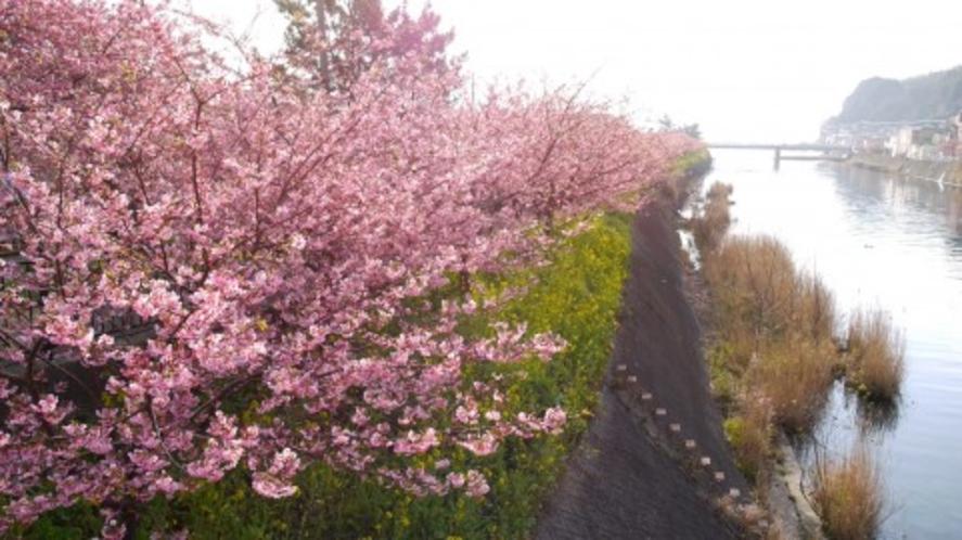 毎年2月10日前後から3月10日前後にかけて河津桜まつりが開催されます。
