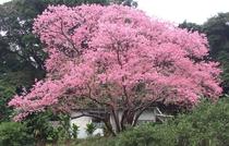 本部町の桜