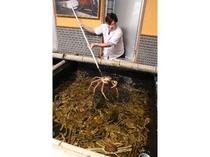 越前蟹の仕入れは問屋ならでは!蟹に居心地のいい環境のいけすで元気です