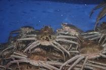 地元産活背甲蟹