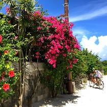 *石垣島の大自然/力強く咲乱れるハイビスカスと青い空。自転車に乗って島内をぶらり。