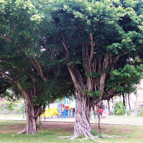 【緑が丘公園】大きながじゅまるの木もあります!