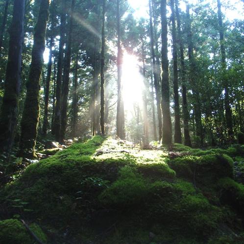 【大自然】《白谷雲水峡》森の木漏れ日