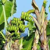 【大自然】一般的なバナナよりも甘味も酸味も濃い《島バナナ》
