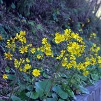 【大自然】宿の名前はこの花の名前《ツワブキ(つわんこ)》