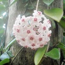 【大自然】岩や樹木に這うよう生育する蘭の仲間《サクララン》