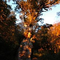 【大自然】縄文杉