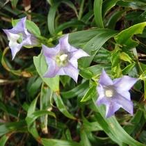 【大自然】8月~10月に開花する《ツルリンドウ》
