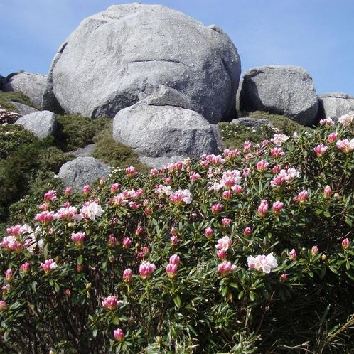 【大自然】見ごろは3月から5月《石摘花(しゃくなげ)》