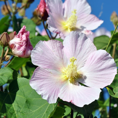 【大自然】屋久島の秋を告げる花で淡いピンクがの《サキシマフヨウ》