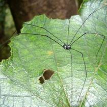【大自然】長い足を持つクモのようにも見える《ザトウムシ》