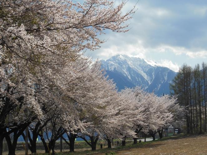雪の甲斐駒と桜