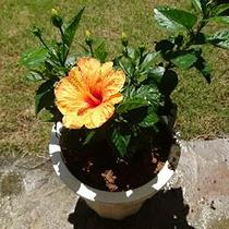 *沖縄の自然の恵み/南国ならではな鮮やかな花