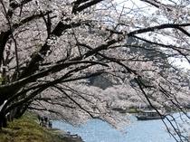 海津大崎桜